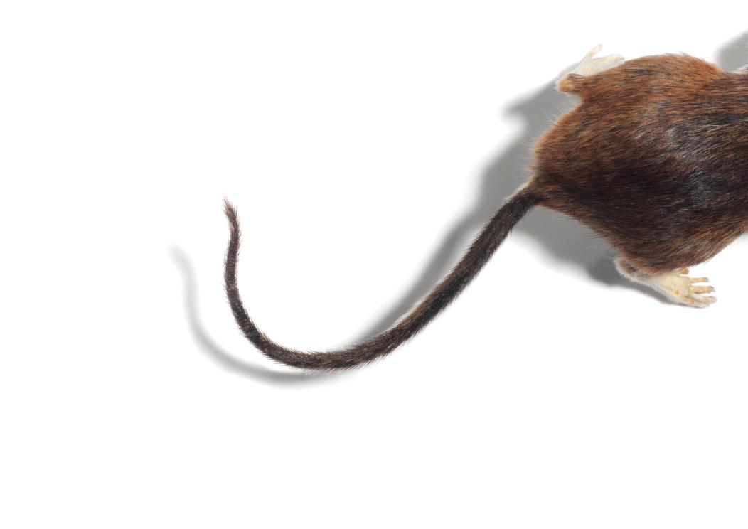 Bli kvitt mus og rotter